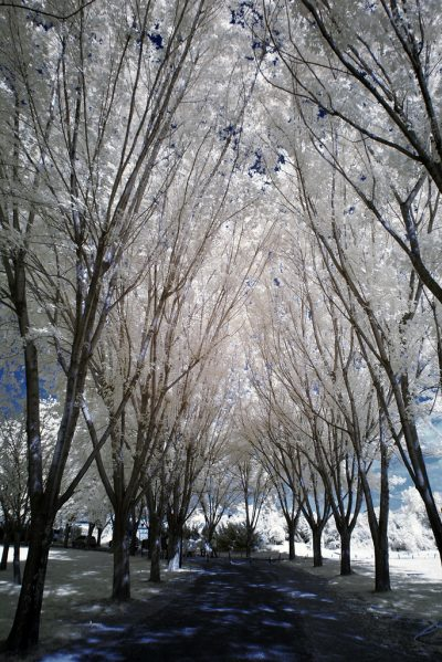 infrared shot of the trees