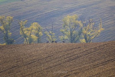 deers are running in the fields in moravia, checia