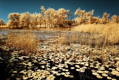 infrared shot of the lotuses in Karacabey Floodplain in Bursa, Turkiye