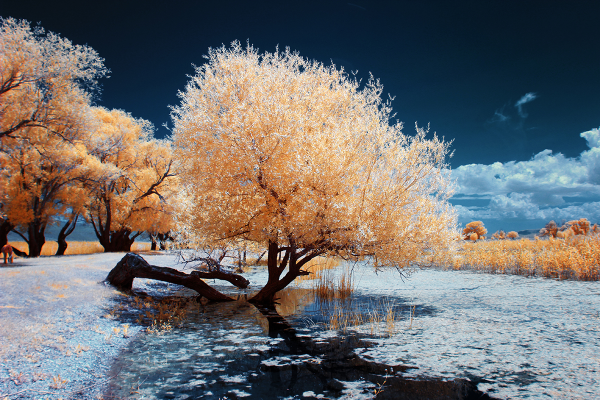infrared shot of the interesting shaped tree