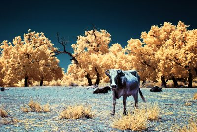 infrared shot of the cows in Karacabey Floodplain in Bursa, Turkiye
